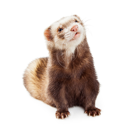 ferret: Cute little pet ferret on white background looking up and to side