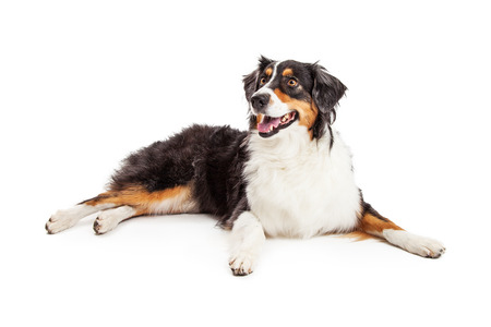 white dog: Australian Shepherd dog with mouth open and a happy smiling expression while laying on white
