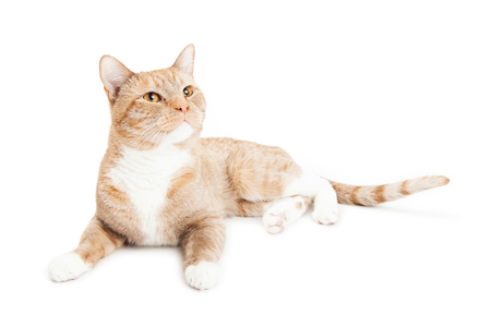 side keys: Beautiful young cat laying on a white background looking up and to the side