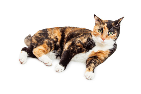 calico: Pretty Calico Cat Laying ob White Background