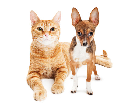 miniature dog: Pretty large adult cat and a little Chihuahua Puppy together on white
