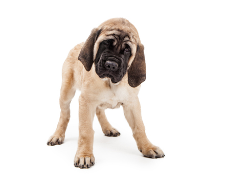 purebreed: Cute Mastiff puppy dog standing over white background looking forward