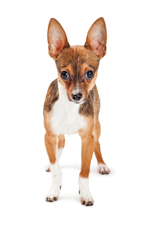 looking into camera: Cute two month old little Chihuahua puppy standing over a white background looking into camera Stock Photo