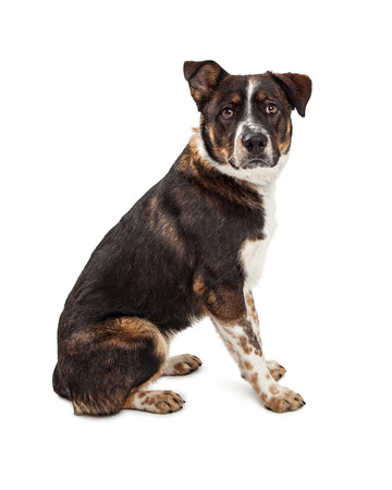 large dog: Large mixed breed dog sitting to the side and looking forward. Isolated on white. Stock Photo