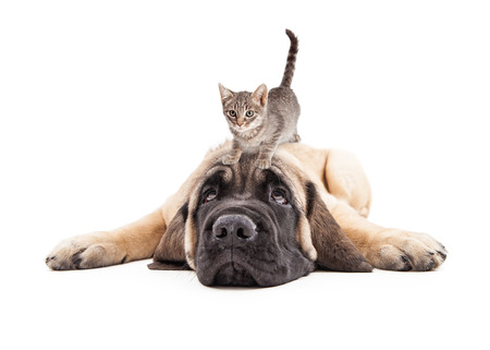 Funny photo of patient a Mastiff puppy laying down with a little kitten on his head