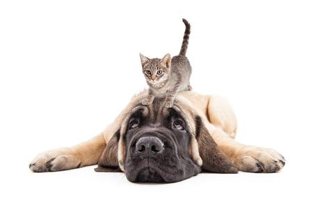 perros graciosos: foto divertida del paciente a un cachorro mastín que se establecen con un pequeño gatito en la cabeza Foto de archivo