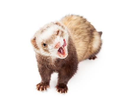 Schattige kleine huisdier fret met de mond wijd open en tong uit naar de lippen likken