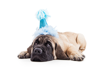 Funny photo of tired Mastiff puppy laying down on white background wearing blue birthday party hat Stok Fotoğraf