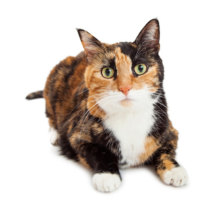 laying forward: Pretty orange and black color Calico breed cat laying on a white studio background looking forward into camera