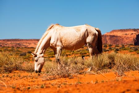 animales silvestres: Bastante blanco caballo pastando en el desierto de roca roja en la frontera de Arizona y Utah