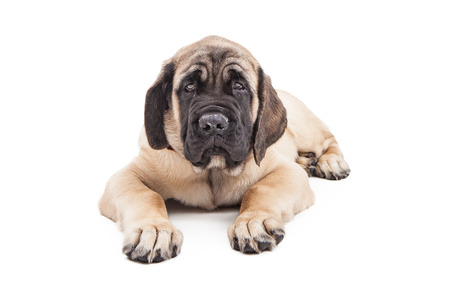 laying forward: Adorable large Mastiff breed puppy laying over white looking forward