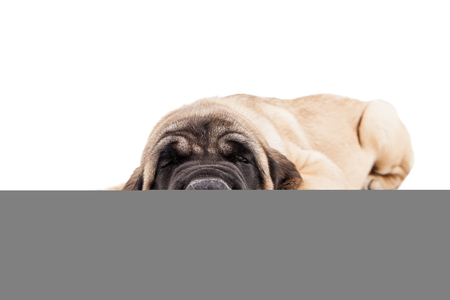 mastiff: Adorable Mastiff breed puppy laying down sleeping Stock Photo
