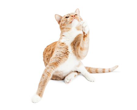 frisky: Pretty orange and white cat sitting on a white studio background raising paw to play and looking up Stock Photo