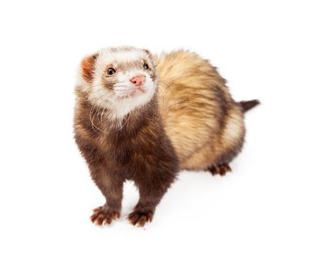 studio shots: Cute little pet ferret isolated on white