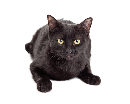 laying forward: Pretty black cat laying on white looking straight forward Stock Photo
