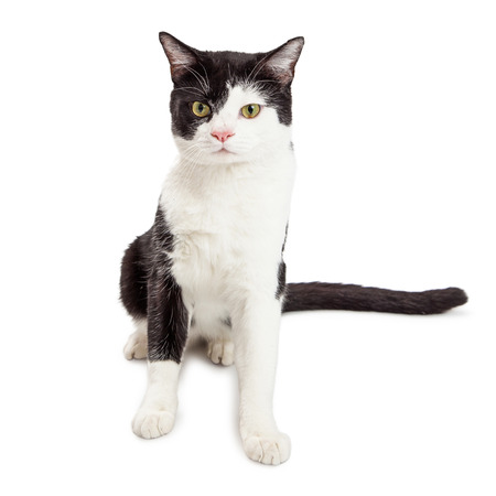 sit on studio: Pretty black and white color cat with tuxedo markings, sitting on white and looking forward