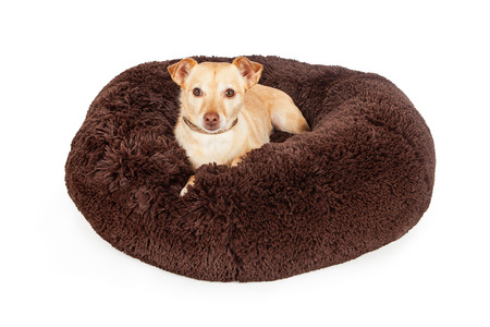 pampered: Pampered little Chihuahua crossbreed dog laying on a luxury brown color bed Stock Photo