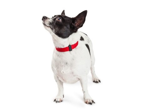 miniature breed: Cute mixed small breed dog standing over white looking up and to the side