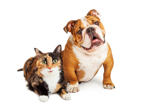 calico cat: Happy and smiling calico cat and Bulldog breed dog sitting together over white