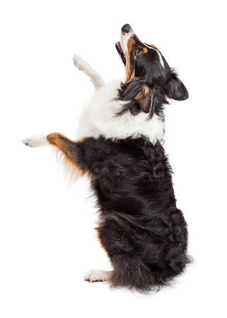 facing away: Happy Australian Shepherd dog sitting up and facing away from camera lifting paws up Stock Photo