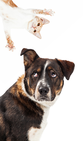 looking in corner: Funny image of a large dog with an irritated expression looking up at a playful kitten coming out of the corner