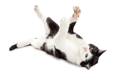 frisky: Frisky young black and white pet cat laying on his back with paws raised up