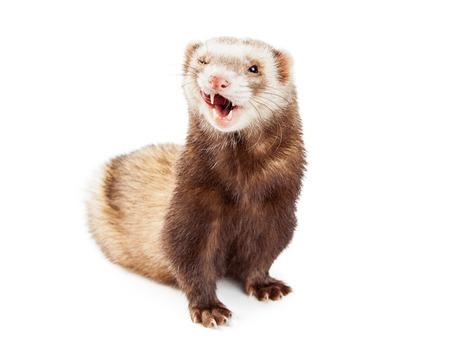Foto divertente di un piccolo furetto carino su sfondo bianco con un occhio chiuso e la lingua fuori a leccare costolette Archivio Fotografico - 53901344