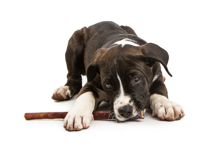 Adorable little mixed large breed dog laying on a white studio background chewing on a bully stick treat