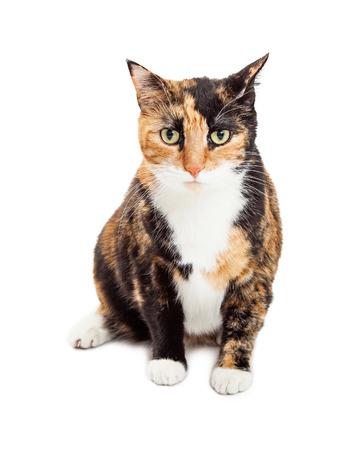 calico cat: Pretty orange and black color Calico bred cat sitting on a white studio background