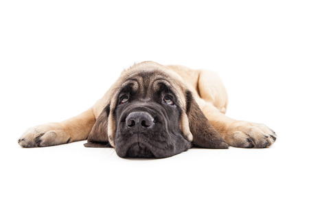 spread legs: Cute Mastiff breed puppy laying flat with legs spread wide while rolling eyes up
