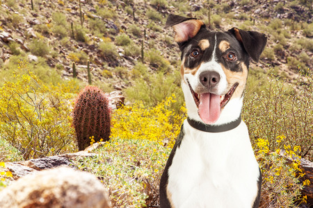 Happy and smiling mixed breed dog on a hiking trail in the desert on South Mountain in Phoenix, Arizona USA Stock Photo