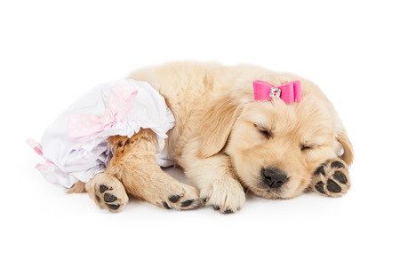 Funny photo of cute little Golden Retriever puppy dog wearing pink bow and diaper romper 스톡 콘텐츠