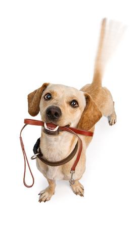 산책을 기대 하여 입에 가죽 끈으로 꼬리를 달고있는 행복한 강아지