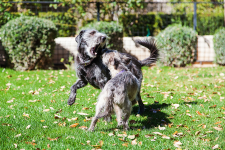 animal fight: Two terrier dogs of different sizes play fighting in a green backyard