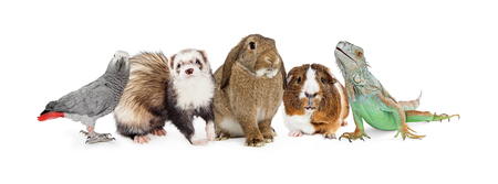 Row of five common small domestic pets sitting together over white - bird, ferret, bunny, guinea pig and iguana lizard Foto de archivo