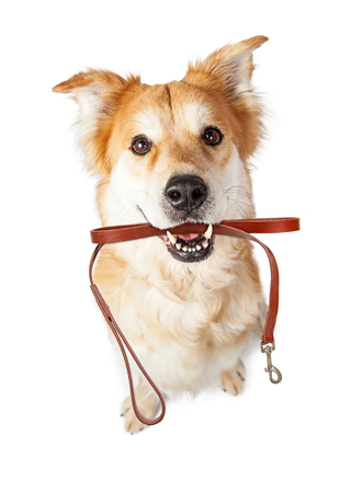 Large dog with happy expression holding leash in mouth, ready for a walk