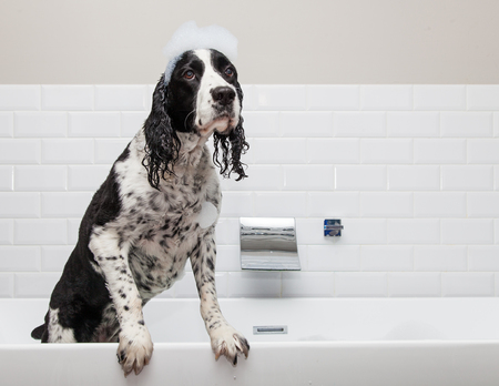 wet: Funny wet English Springer Spaniel Dog in bathtub with paws up on edge Stock Photo