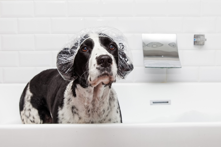 Funny photo of English Springer Spaniel dog wearing shower cap in bathtub Stock Photo