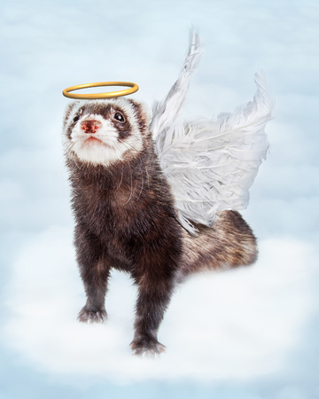 ferret: Pet ferret in sky clouds with angel wings and halo