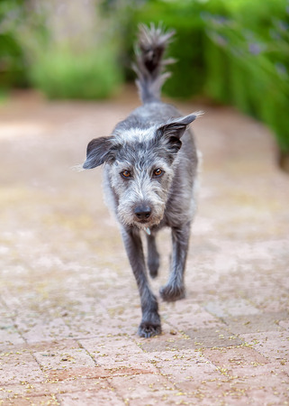 medium size: Medium size terrier dog walking forward on a brick patio with green bushes in the background Stock Photo