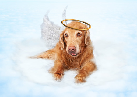 Old dog wearing angel wings and golden halo laying on clouds in heaven