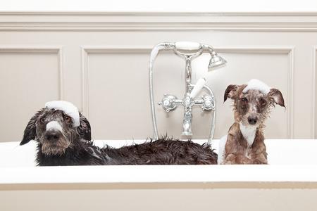 머리에 불행 표현과 비누 비눗물과 함께 욕조에 두 개의 서로 다른 크기 테리어 개. 스톡 콘텐츠