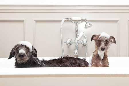 Two different size terrier dogs in tub with unhappy expressions and soap suds on heads.