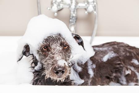 Perro mojado del terrier de cruce en la bañera con espuma de jabón por toda la cabeza y una expresión infeliz Foto de archivo