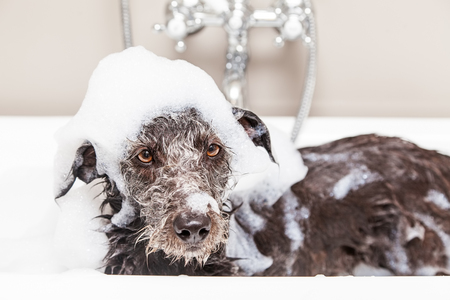 Wet terrier crossbreed dog in bathtub with soap suds all over head and an unhappy expression Banque d'images