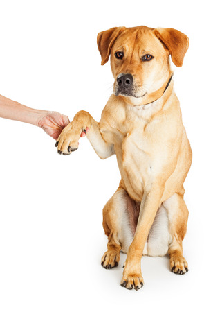 obedient: Obedient yellow Labrador Retriever mixed breed dog raising paw to shake hands with person