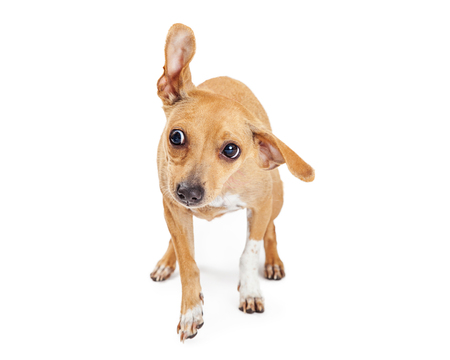 flipped: Funny photo of a dog shaking head with one ear flipped up in air