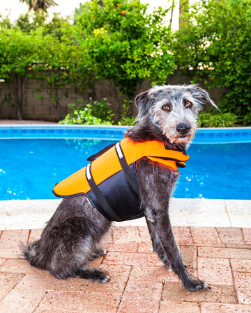 lifejacket: Medium size terrier crossbreed dog wearing an orange lifejacket while sitting by pool in backyard