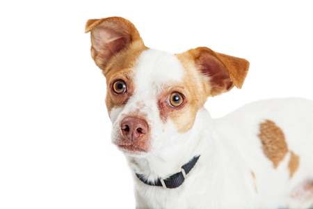 lapdog: Closeup of an attentive crossbreed dog with big eyes looking forward