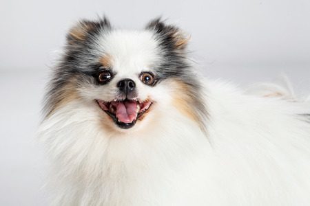 lapdog: Portrait of a happy and smiling Pomeranian breed dog with grey color studio background Stock Photo